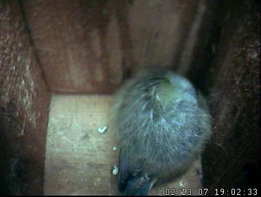 070213 Blue Tit Roosting 2 Nest Cam.JPG