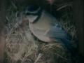 070403 Blue Tit Nesting.JPG