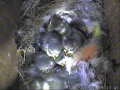 09-05-25 Chicks In Nest.JPG
