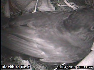 20130410-male-blackbird-visit.jpg