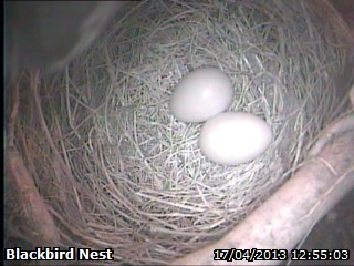 20130417 2nd Blackbird Egg.jpg