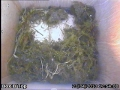 20130423 Nest building started.jpg