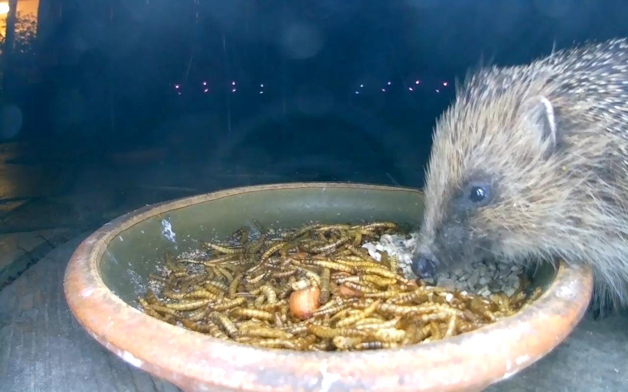 Hedgehog 2015-05-23 21-50-38.208