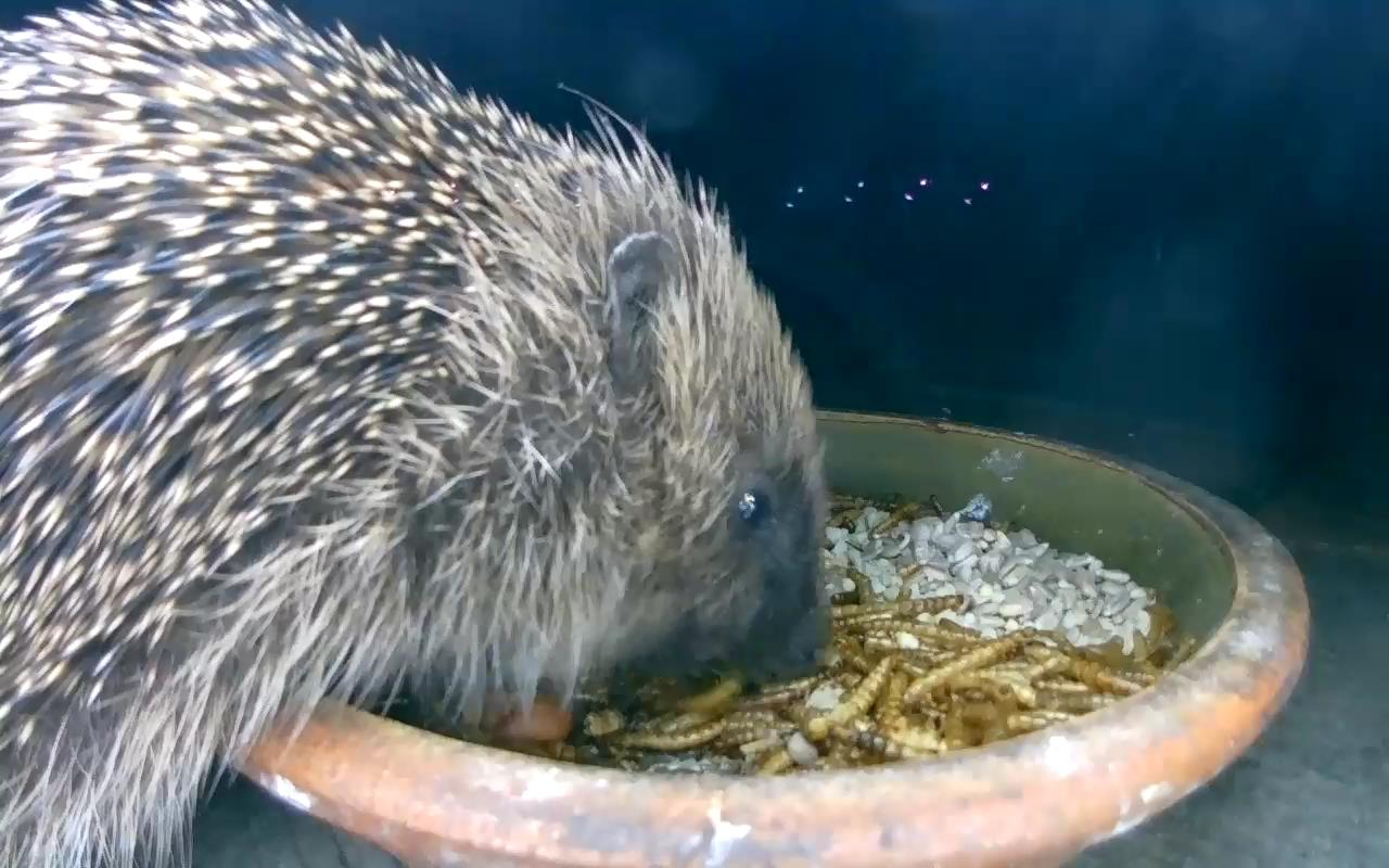Hedgehog 2015-05-23 22-02-05.011