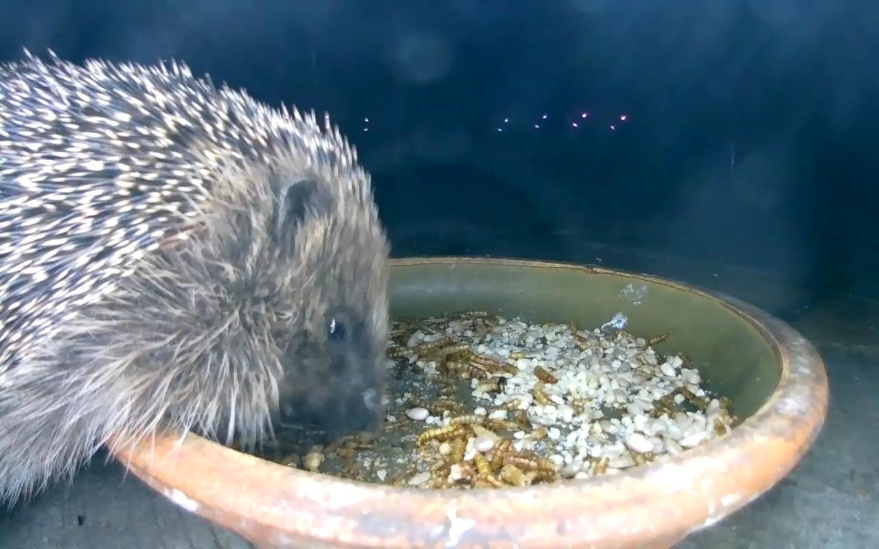 Hedgehog 2015-05-24 01-42-18.780