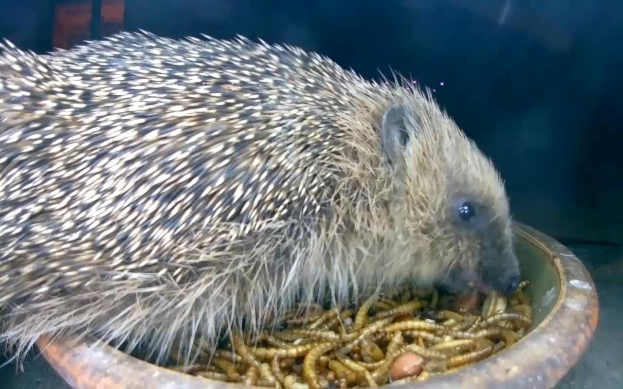 Hedgehog 2015-05-24 21-41-29.400