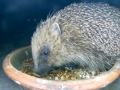 Hedgehog 2015-05-23 23-46-15.630