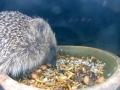 Hedgehog 2015-05-24 23-25-38.750