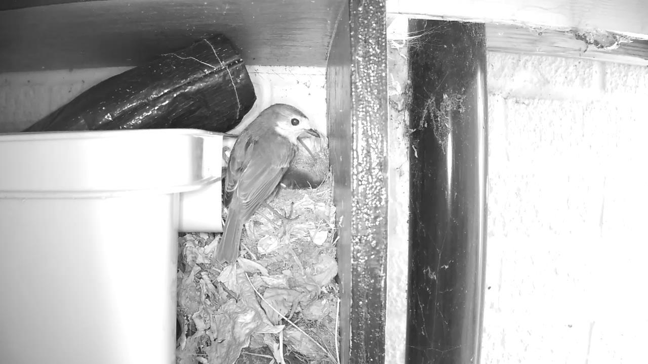 Robin Nest 2016-05-13 11-15-20.770
