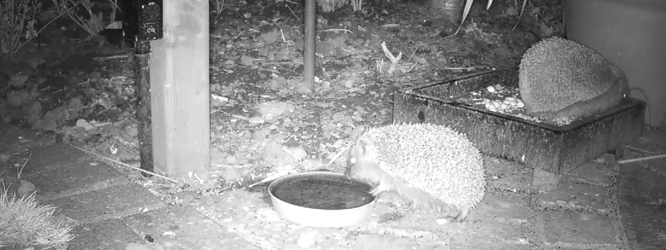 Hedgehogs feeding at night